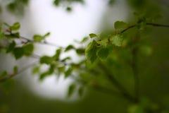 Rami della betulla con le foglie fresche Immagine Stock