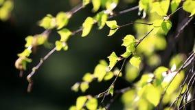 Rami della betulla con le foglie verde chiaro archivi video