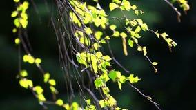 Rami della betulla con le foglie verde chiaro video d archivio