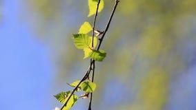 Rami della betulla con le foglie verde chiaro stock footage