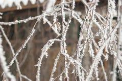Rami della betulla, coperti di brina un giorno gelido Immagine Stock Libera da Diritti