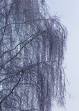 Rami della betulla di Snowy nell'inverno contro il cielo fotografia stock libera da diritti