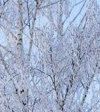 Rami della betulla di Snowy nell'inverno contro il cielo immagine stock