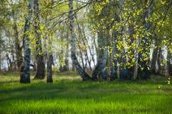 Rami della betulla a fondo vago della foresta Immagine Stock