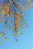 Rami della betulla nella priorità alta Fotografie Stock