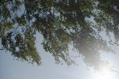 Rami della betulla in primavera fotografie stock libere da diritti