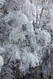 Rami della betulla sotto neve Immagine Stock