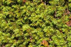 Rami della carta da parati sempreverde conifera degli alberi Fondo Fotografie Stock Libere da Diritti