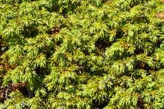 Rami della carta da parati sempreverde conifera degli alberi Fondo Fotografia Stock