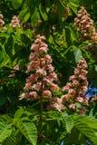 Rami della castagna di fioritura Fiori bianchi della castagna fotografati contro lo sfondo delle foglie verdi fertili fotografia stock libera da diritti