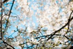 Rami della magnolia Immagine Stock