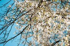 Rami della magnolia Fotografia Stock Libera da Diritti