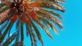 Rami della palma da datteri che si muovono nel vento stock footage