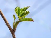 Rami della prugna con i germogli contro un chiaro cielo blu La primavera è venuto I raggi del sole riscaldano gli alberi fotografia stock