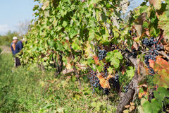Rami della vite ed uva matura in valle soleggiata Area del ` s dell'agricoltore con le vigne Immagini Stock