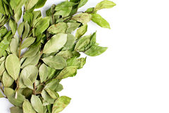 Rami delle foglie della baia dell'alloro su bianco Fotografia Stock Libera da Diritti