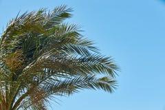 Rami delle palme da datteri contro il chiaro cielo blu, Africa, tropicale Immagini Stock