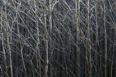 Rami di albero Immagine Stock