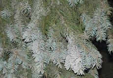Rami di albero blu dell'abete Immagine Stock Libera da Diritti