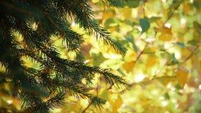 Rami di albero che ondeggiano in vento stock footage