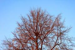 Rami di albero con il nido sul fondo del cielo blu Fotografia Stock