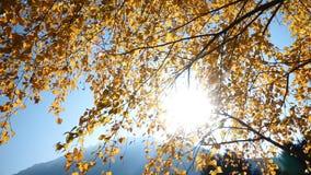 Rami di albero con le foglie gialle archivi video