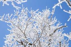 Rami di albero congelati contro cielo blu Immagine Stock Libera da Diritti