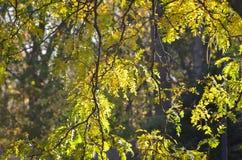 Rami di albero d'attaccatura dell'acacia Immagine Stock