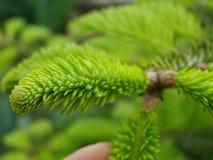 Rami di albero dell'abete Fotografia Stock Libera da Diritti