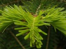 Rami di albero dell'abete Fotografie Stock