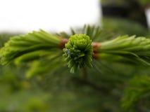 Rami di albero dell'abete Immagini Stock