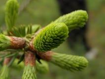 Rami di albero dell'abete Fotografia Stock