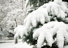 Rami di albero dell'abete con neve immagini stock libere da diritti