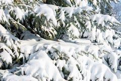 Rami di albero dell'abete con neve immagine stock libera da diritti