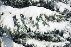 Rami di albero dell'abete con neve fotografia stock libera da diritti