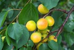 Rami di albero dell'albicocca con i frutti e le foglie Immagini Stock
