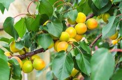 Rami di albero dell'albicocca con i frutti e le foglie Immagine Stock