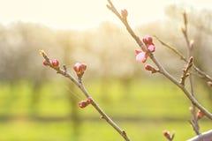 Rami di albero dell'albicocca con i germogli di fiore al tramonto Immagine Stock