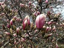 Rami di albero della magnolia con i germogli del fiore del fiore di spiegamento in primavera fotografie stock