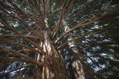 Rami di albero della sequoia Fotografie Stock