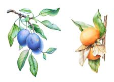 Rami di albero disegnati a mano della prugna e del cachi dell'acquerello illustrazione di stock