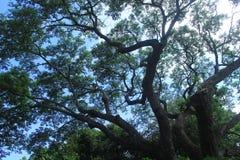 Rami di albero enormi Fotografia Stock
