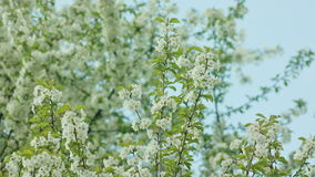 Rami di albero in fiore stock footage
