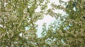 Rami di albero in fiore video d archivio