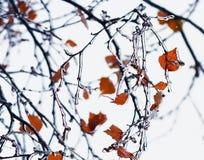 rami di albero frizzanti coperti di ghiaccio in maltempo Fotografie Stock Libere da Diritti
