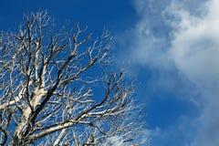 Rami di albero morti sul fondo del cielo blu Immagini Stock Libere da Diritti