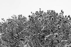 Rami di albero nevosi in bianco e nero Fotografia Stock Libera da Diritti
