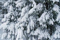 Rami di albero pesanti dell'abete in pieno di neve Fotografia Stock Libera da Diritti