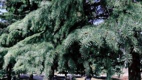 Rami di albero sempreverdi dell'abete che muovono ondeggiamento dal forte vento in parco archivi video