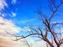 Rami di albero senza foglia su cielo blu fotografia stock